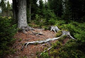 Forest with old stumps photo