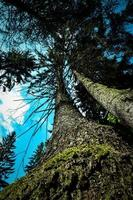 Crowns of old spruces