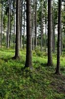High spruce  trees