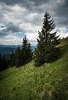 Dramatic landscape with spruces on a meadow