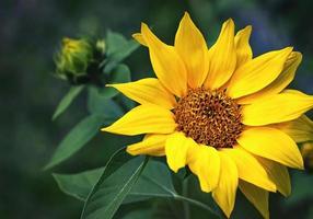 Bright yellow sunflower photo