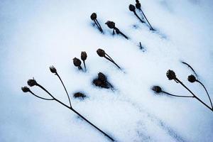 Plants in snow photo