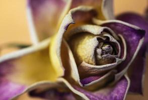 Old dry purple rose photo