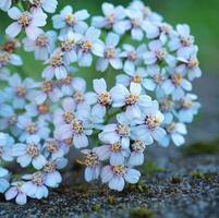 White flowers in the garden in springtime photo