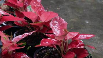 folhas frescas de caládio vermelho colorido em dia chuvoso