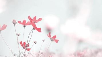 flores vermelhas do cosmos tremulando pelo vento no campo natural video