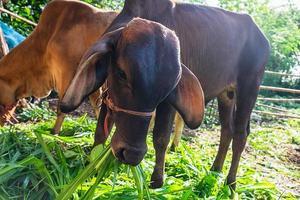 Two calves eating grass
