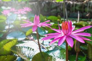 Pink lotus flowers in a pond photo