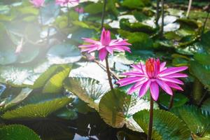 Lotus flowers in a pond photo
