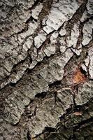 Detalle de corteza de árbol grisáceo foto