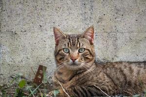 Gray stray cat portrait photo