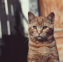 Brown stray cat portrait