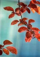 Red tree leaves in the autumn season