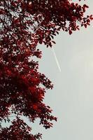 hojas de arbol rojo en la temporada de otoño foto