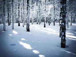 Dense spruce snowy forest photo