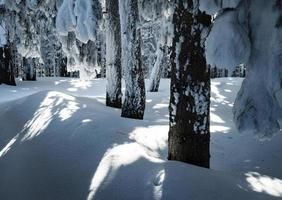 Snowy spruce forest