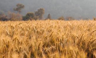 Barley field in the summer season photo