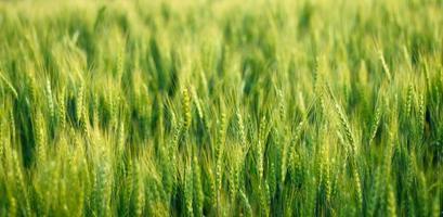 Green barley field photo