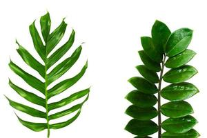Green tropical leaves on a white background photo
