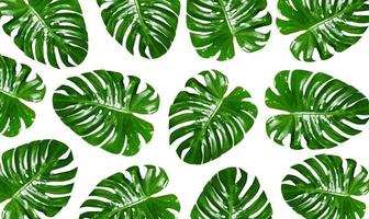 Group of Monstera leaves on a white background photo