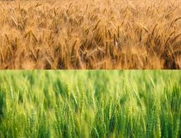 Barley fields in the summer photo