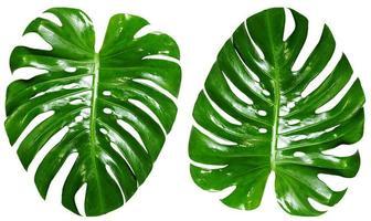 vista superior plana laicos de hojas de monstera foto