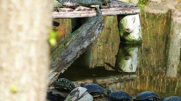 tartarugas tomando banho de sol em um tronco de madeira no lago