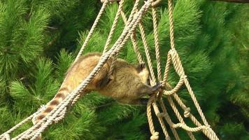 Animal Coati on a Rope in Nature video