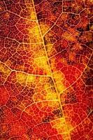 Red autumn leaf photo
