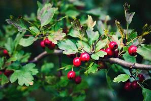 Red fruit of hawthorn
