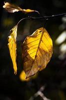 hojas amarillas de haya foto