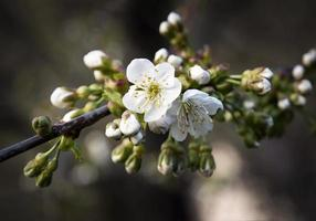 Apple blossom flowers photo