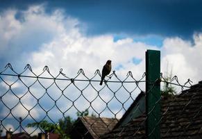 Blackbird on a wire fence photo