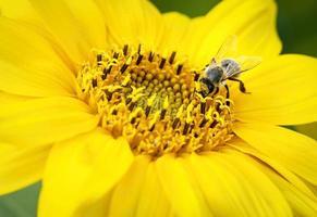 Bee on a sunflower photo