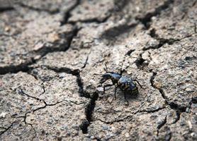 Black beetle on dry clay photo