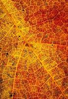 Color detail of an autumn leaf photo