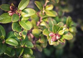 brotes en un arbusto de arándanos foto