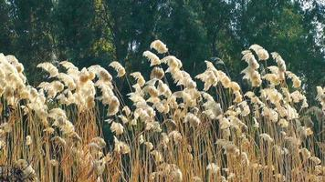Plant Reeds in the Wind in Nature video