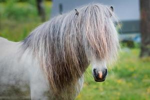 Beautiful white and gray Icelandic horse stallion photo