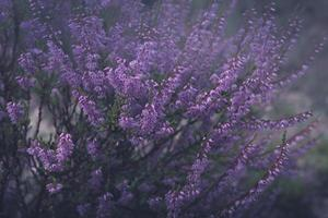 Close-up of a shrub of purple heather in morning haze photo