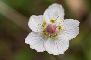 Primer plano detallado de parnassus flor Parnassia palustris foto