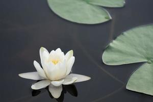 lirio de agua blanca y hojas verdes flotando en el agua foto