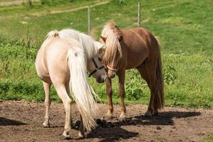 caballos islandeses haciendo amigos antes del apareamiento