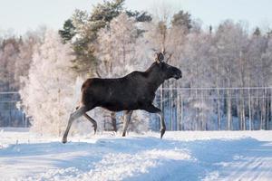 Alce hembra trotando con gracia en la nieve foto
