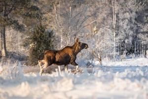 Female moose crossing a snow covered field in sunlight