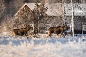 Terneros de alces cruzando un campo cubierto de nieve