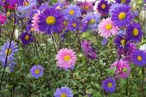 Cama de flores con flores de aster de colores mezclados foto