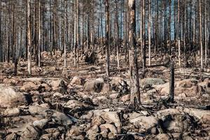Remaining dead and burnt trees in a forest ravaged by fire photo