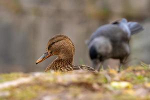 Female mallard duck with a gray crow in the background photo