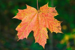 A single red maple leaf in autumn sunlight